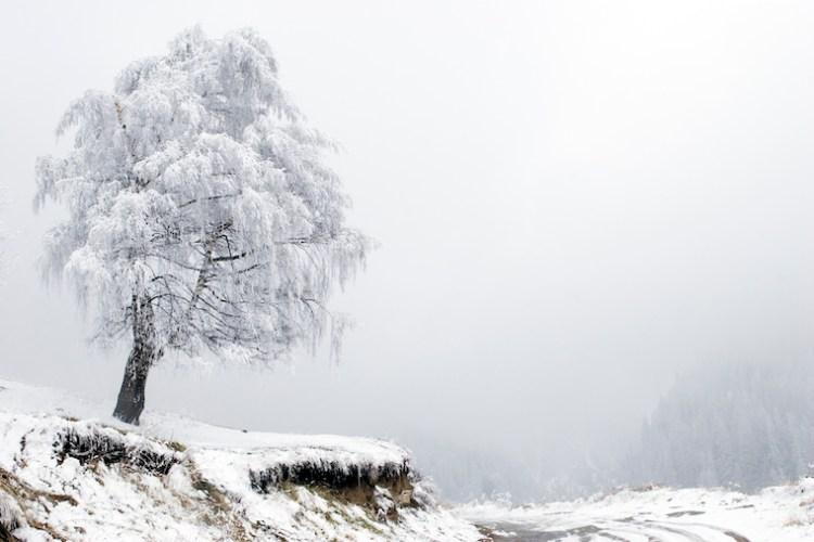 Un arbre ploie sous le verglas, incliné par les vents dominants, jouxtant une forêt.