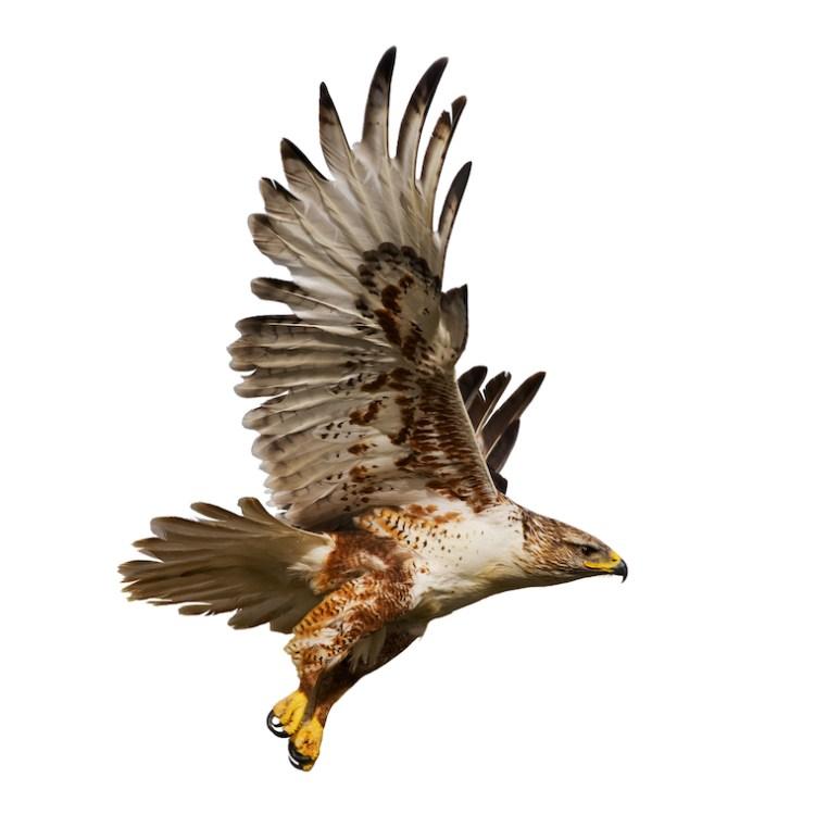 Un faucon en plein ciel au dessus de la forêt