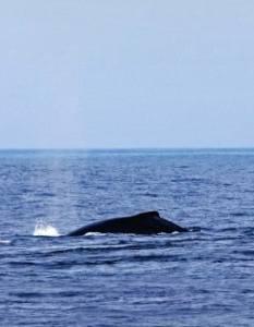 Καναδάς: Έκκληση για την προστασία σπάνιων φαλαινών