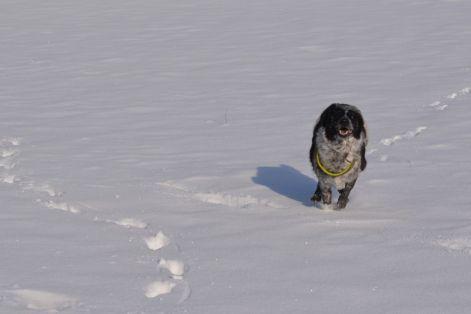 Unterwegs im Winterwunderland bei Habach: Mika genießt es durch den Schnee zu sausen
