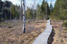 Birken, Mooslatschen und Heidekraut säumen den Bohlenweg