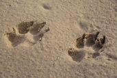 Noch mehr Pfot-steps in the sand