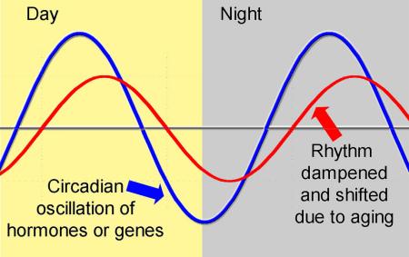 circadian rhythm aging oregon 14485093188_c5e94b7948_b