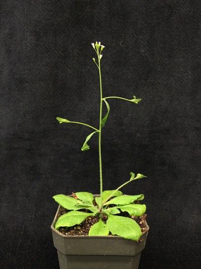 Arabidopsis_Frost Museum_14930893154_ec406792da_z