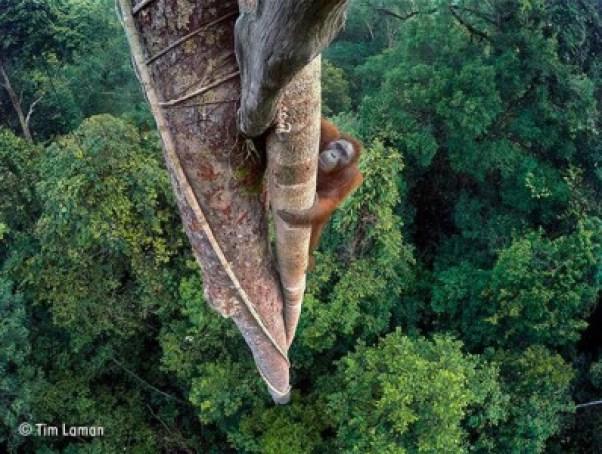 orangutan on tree