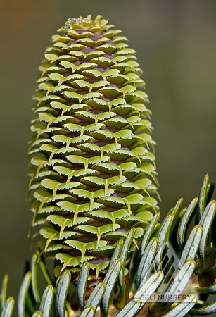 Female Seed Cone - Spring