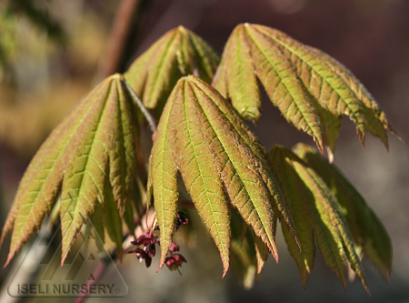 Acer japonica 'Vitifolium'