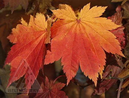 Autumn foliage of Acer japonicum Vitifolium