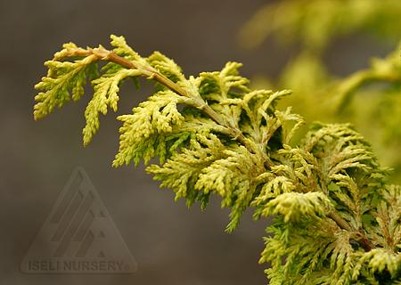 'Golden Fern' foliage