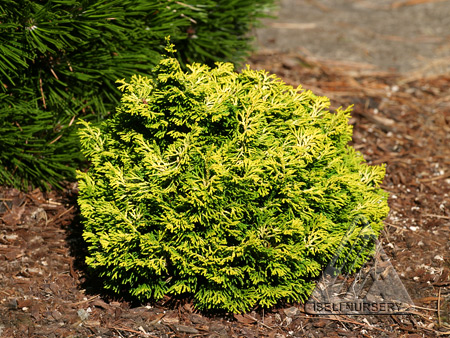 Chamaecyparis obtusa Butter Ball