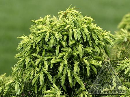 Cryptomeria japonica 'Elegans Nana'