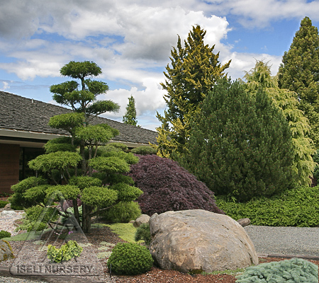 Conifers in the garden