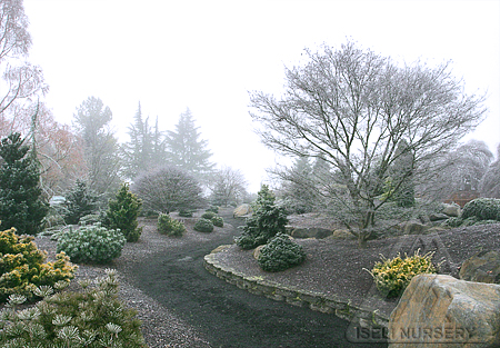 Winter in the Conifer Garden