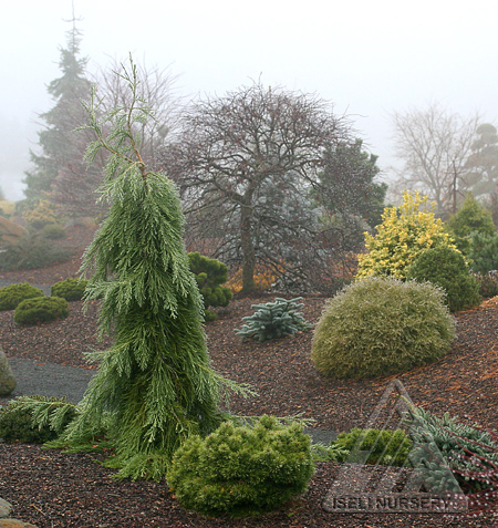 The foggy conifer garden