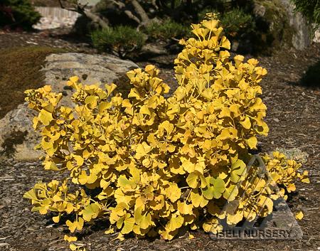 Ginkgo biloba 'Mariken' - autumn foliage