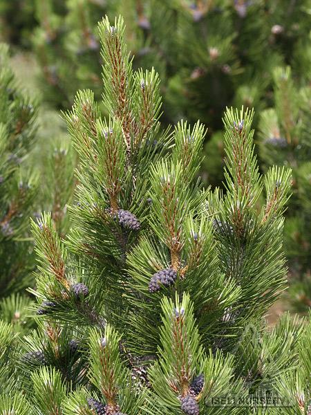 Pinus leucodermis 'Indigo Eyes'