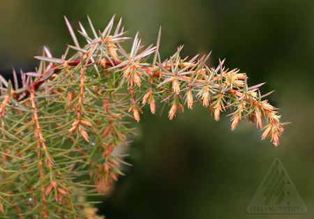 Juniperus communis Kalebab - Winter