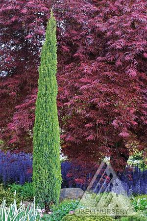 Juniperus communis 'Compressa'