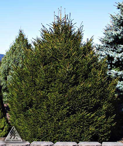 Picea orientalis 'Shadow's Broom'