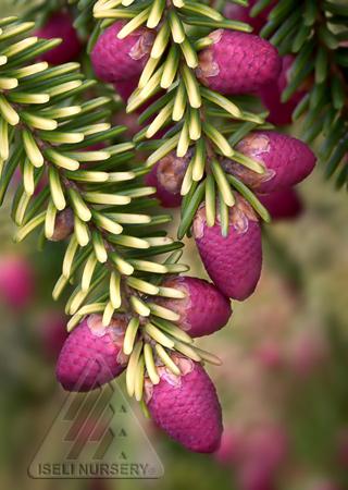 'Skylands' pollen cones