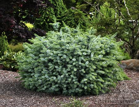 Picea sitchensis 'Silberzwerg'