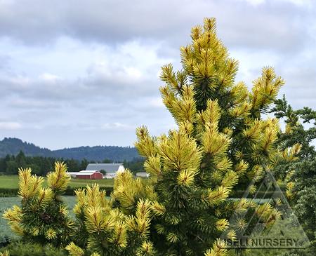 Pinus contorta 'Taylor's Sunburst'