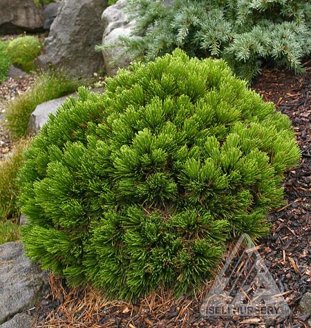 Pinus heldrichi Smidtii