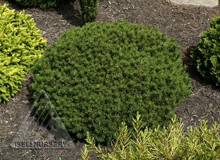 Pinus mugo 'Moppet'