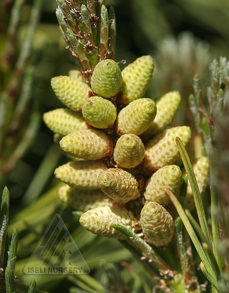 Pinus mugo 'Orphir'