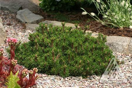Pinus mugo 'Short Needle