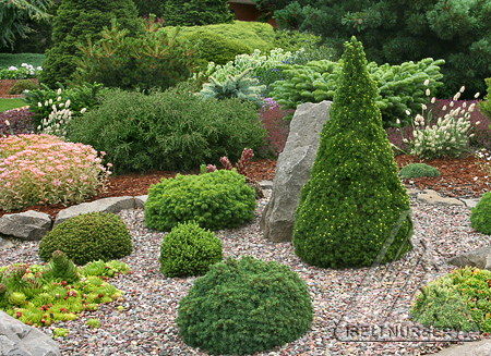 Super minature conifers in the rock garden