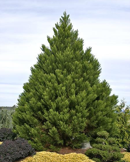 Sequoiadendron giganteum 'Greenpeace'