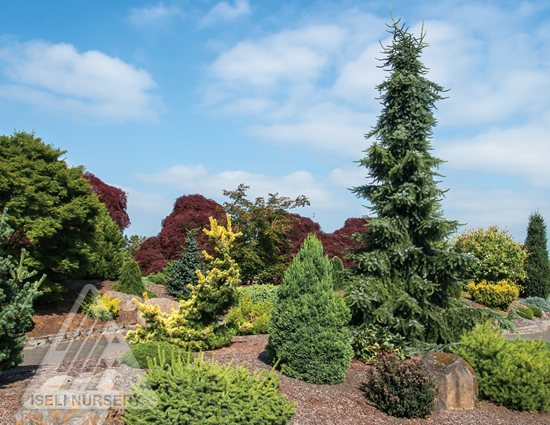 Summer Conifer Garden