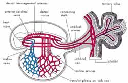 Gambar 4. Bagan sistem peredaran darah primitif pada embrio dalam fase 'alaqah. Penampilan luar dari embrio dan kantungnya mirip dengan gumpalan darah karena adanya darah yang relatif banyak di dalam embrio.