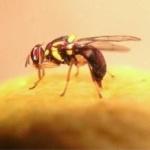 fruit_fly_rizvi