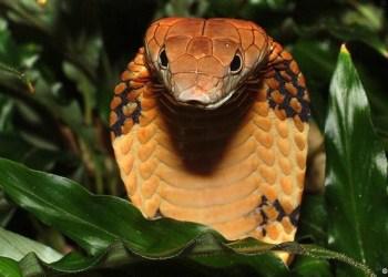 Ilustrasi ular kobra. Foto: DW