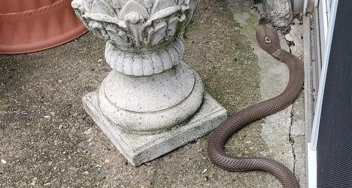 Ilustrasi ular kobra. Foto: Twincities