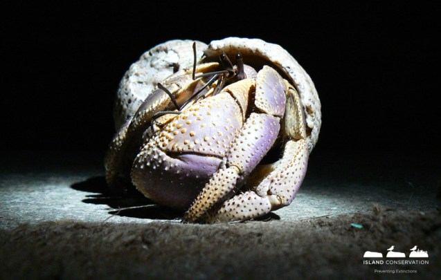 The entire diversity of life found on these islands, like this Hermit Crab, will soon be able to enjoy six more islands without damaging rats or other invasive animals.