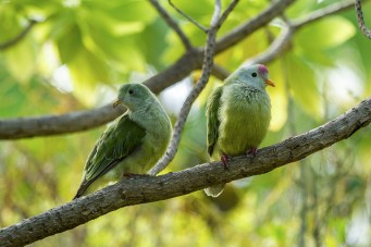 A pair of native Atoll Fruit-doves_19471056134_m