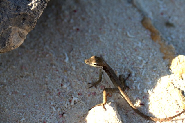 A subspecies of the Silver Key Anole that is endemic to Booby Cay and nearby Mayaguana