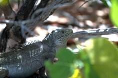 A Bartsch's Iguana on Booby Cay