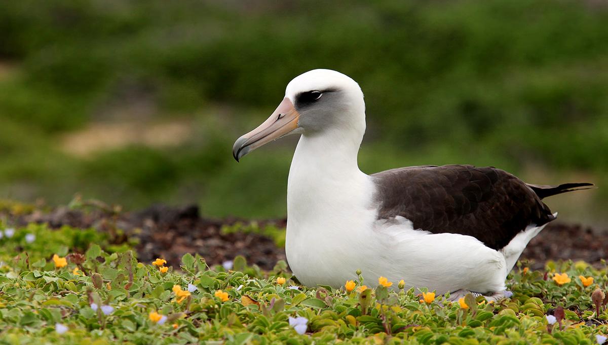 Island conservation science hawaii albatross eggs