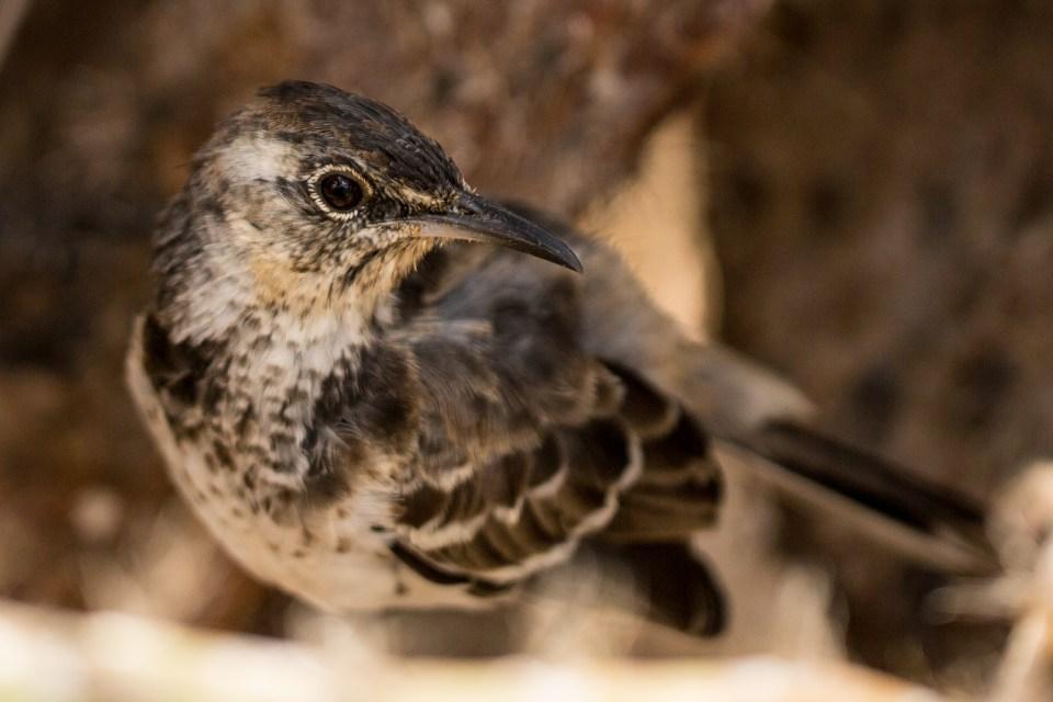 island-conservation-science-floreana-mockingbird-bill-weir