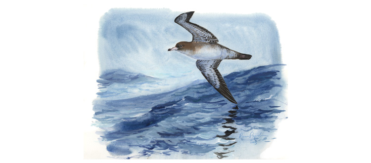 island-conservation pink footed shearwater