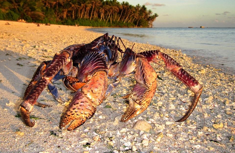 Island Conservation Science Palmyra Atoll Coconut Crab