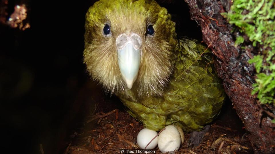 Island Conservation Kakapo with Eggs
