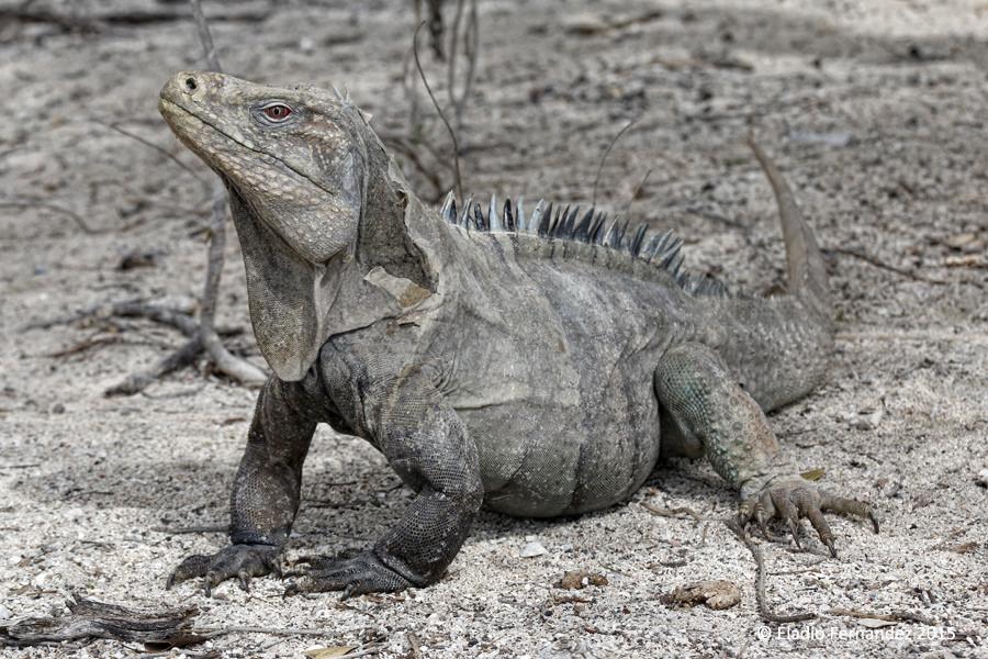 Eladio Fernandez cabritos island ricords iguana