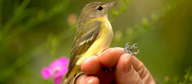 island conservation migratory bird banding sullivan island