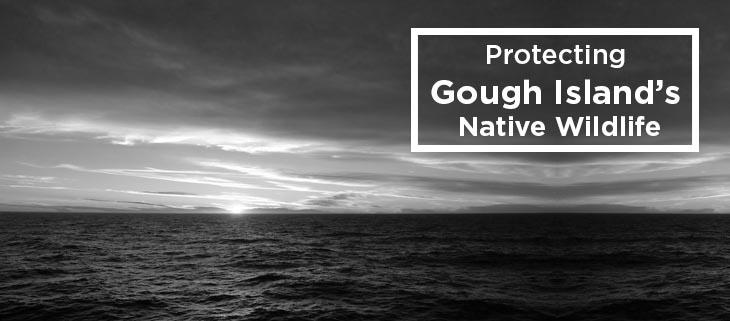 island conservation protecting gough island's native wildlife