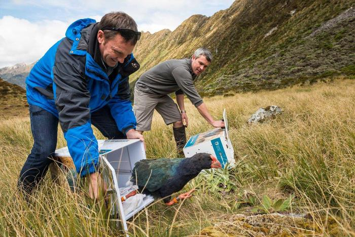 island conservation takahe release